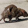 Aquí no hay ratas - relato
