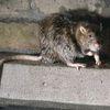 La conspiración de las ratas - relato